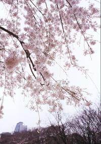 Img_0001sakura